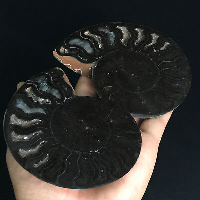 256.4gBeautiful Pair of Split Ammonite Fossil Specimen Shell Healing, Madagascar