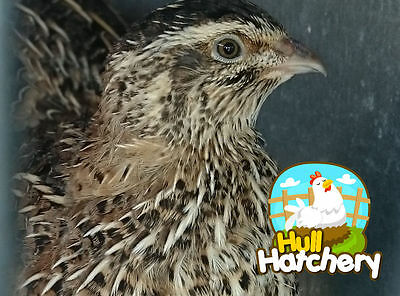 12 Jumbo Brown Coturnix Quail Hatching Eggs ---- Free Shipping