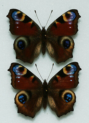 Nymphalidae - Aglais io - Inachis in - Peacock - x2