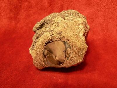 Fossil Petrified Wood Eden Valley Wyoming PET109