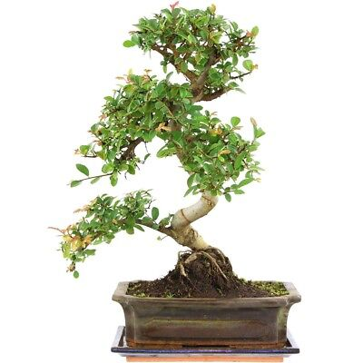 bonsai chinesische ulme mit untersetzer ulmus parvifolia zimmerbonsai 9 picclick de. Black Bedroom Furniture Sets. Home Design Ideas