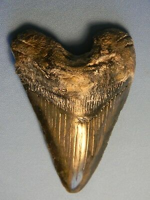 "Beautiful 5 5/8""  Megalodon Tooth Fossil"