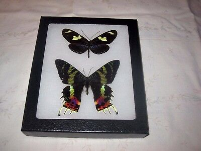 """2 real  butterfly moth  mounted framed 5x6"""" riker  #><26 heliconius urania."""