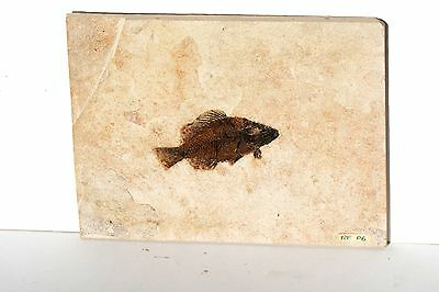 Super Fossil Fish Priscacara liops, Green River Formation Wyoming, USA P6