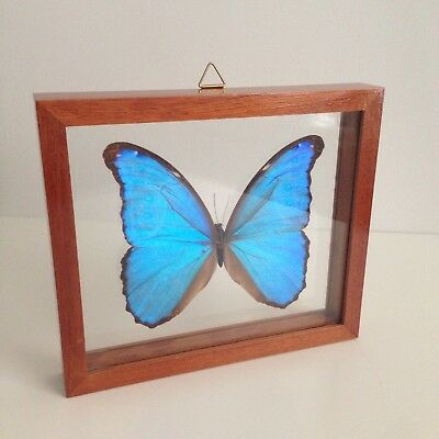REAL Blue Morpho Didius Butterfly Framed Insect Taxidermy Large Specimen