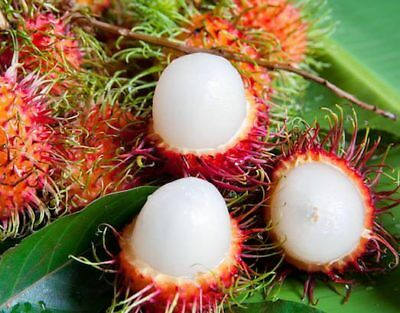 Lychee Seeds 10 PCs Package Fruit Tree Seed Home Garden Delicious Succulent