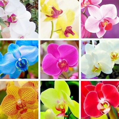 100 Pcs Orchid Seeds Phalaenopsis Seeds Bonsai Balcony Flower Mixed Colors Hot