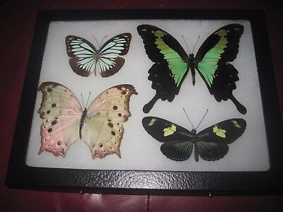 """4 real framed mounted colorful rainbow butterflies in 6x8"""" riker mount #pn51."""