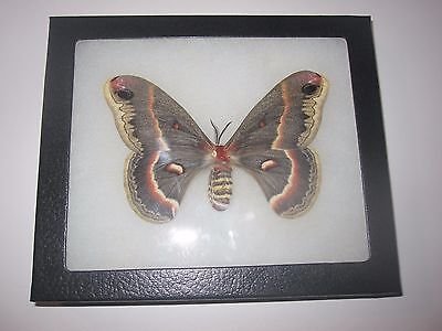 "saturniidae hyalophora cecropia moth mounted  framed 5 x 6"" display #awe81."