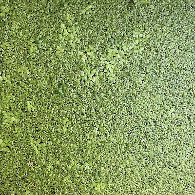 Mixed Azolla Duckweed 11x8cm Bag Aquatic/water plant *buy 3 get 1 free*