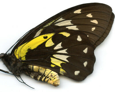 Ornithoptera  -  Ornithoptera victoriae victoriae  -  Solomon Is     Female