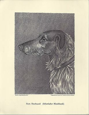 1890 Jean Bungartz Dog Art Head Study Print Reproduction SCOTTISH DEERHOUND