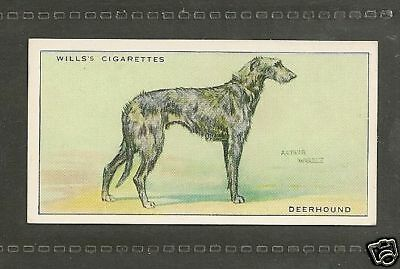 1937 UK Arthur Wardle Dog Art Full Body Wills Cigarette Card SCOTTISH DEERHOUND