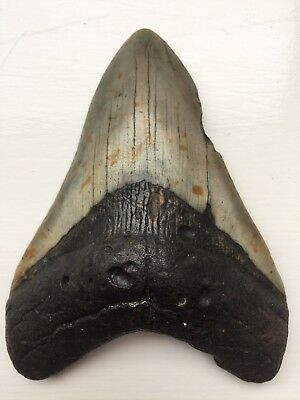 "Big Genuine 4.16"" Megalodon Shark Tooth"