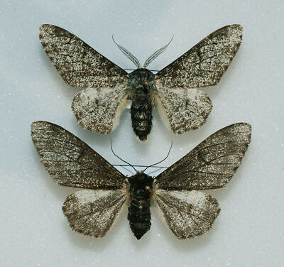 Geometridae - Biston betularia - Peppered Moth - pair