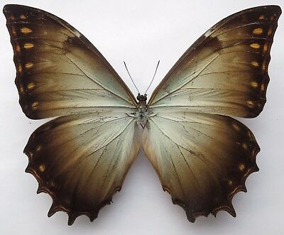 Nymphalidae. Morpho Theseus Aquarius. Male. A1-/a-. Rare. Central America.