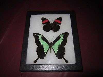"2 real  butterflies  mounted framed 5x6"" riker papilio phorcus  pin24"