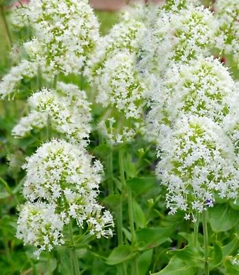 CENTRANTHUS White 40 seeds perennial pure white flowers very hardy