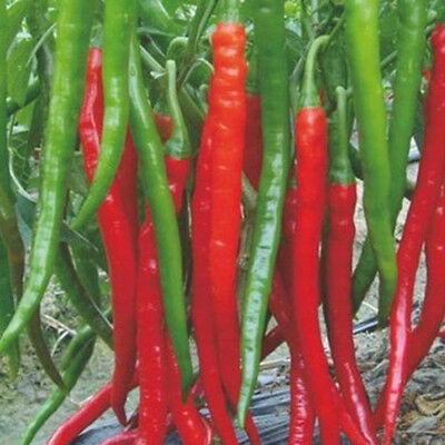 10PCS Super Giant Long Chili Seed Red Hot Pepper Organic Seeds Planting Eatable