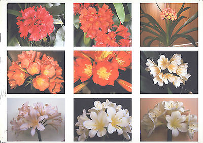 CLIVIA. Assorted mixture of 5 PLANTS.