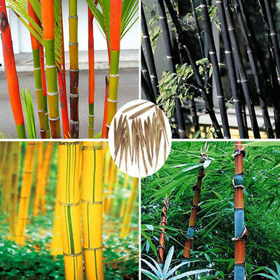 100Pcs Black Tinwa Green Phyllostachys Pubescens Moso-Bamboo Seeds Garden Plant