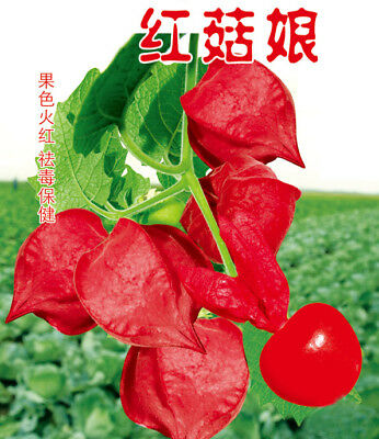 Wild Red Ground cherry 200 seeds Fruit seeds Chinese Lantern  plant Physalis