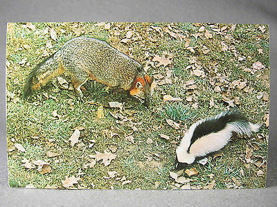 Skunk & Fox photographic postcard at Lake Cumberland State Resort Park, KY
