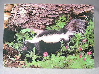 Skunk photographic postcard, Thomas W. Kitchin, Photo Décor, Canada, Ireland