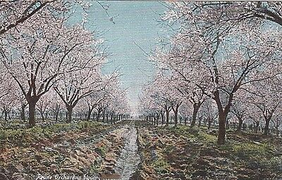 ANTIQUE c1910 Prune Orchard in Bloom Postcard Old Vintage German made PC Exc