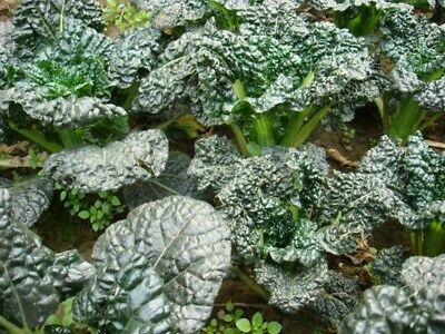 Black Chinese Cabbage Bok Choy PAK CHOI Seeds organic heirloom Vegetable NO-GMO