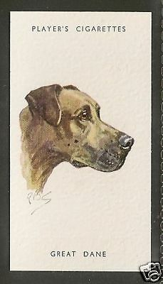 1940 UK Peter Biegel Dog Art Head Study Player Cigarette Card Fawn GREAT DANE