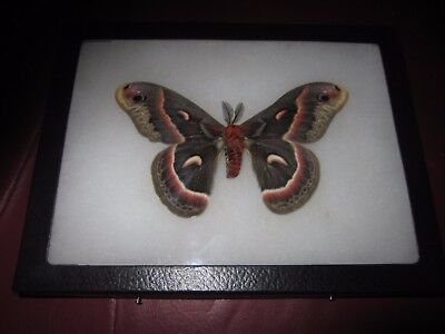 "saturniidae hyalophora cecropia moth mounted  framed 6 x 8"" display #pin13"