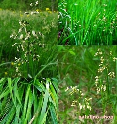 *Mary`s grass* 20+ Seeds *Hierochloe odorata *Holy grass *Sweet Grass Seeds