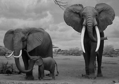 Elephants Wildlife Landscape Poster Art Print Black & White Card or Canvas