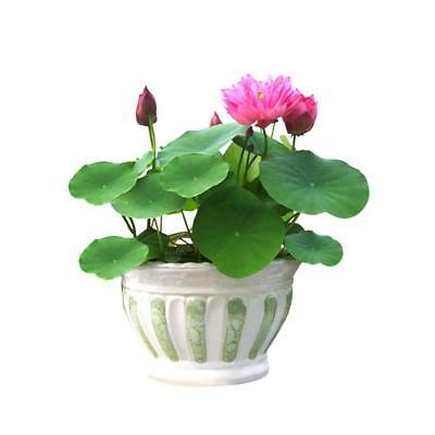 40P LOTUS FLOWER LOTUS SEEDS AQUATIC PLANTS Bowl Lotus Water Lily Seeds