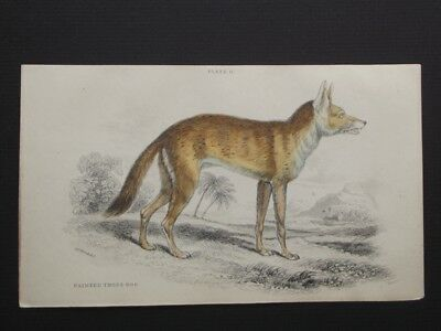 PAINTED THOUS DOG - ORIGINAL LIZAR'S 1830's HAND COLORED COPPER PLATE ENGRAVING