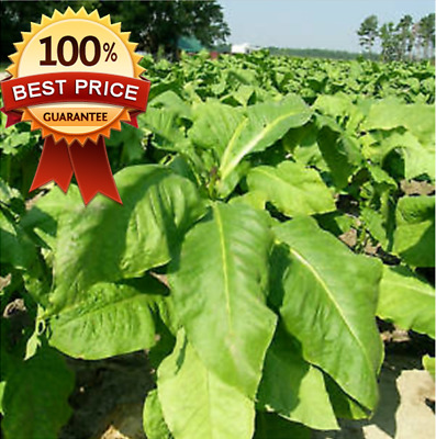 1000pc++ Organic Virginia Tobacco Heirloom Seeds + GIFT! HOT HOT HOT