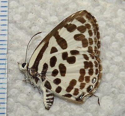 Lycaenidae Castalius rosimon Thailand #JH-7 Butterfly Moth Insect