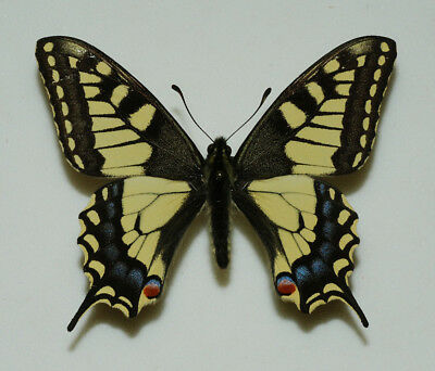 Papilionidae - Papilio machaon - Swallowtail - male #1