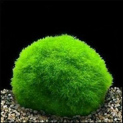 3-4cm Cladophora Live Aquarium Plant Fish Tank Shrimp Nano For MARIMO MOSS