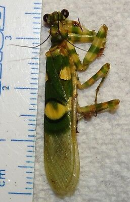 Mantidae Praying Mantis species Africa Mantid Insect Entomology Bug African 3