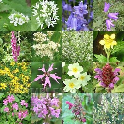 WILDFLOWER WOODLAND SEED MIX (NO GRASS) 3 grams - wild flower seeds for shade