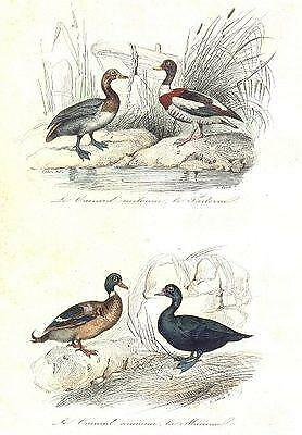 BIRDS: Grey Widgeon, Shelldrake, Scoter, Sea Duck; Canard; Tadorne. BUFFON;1841