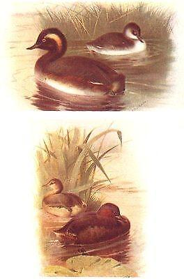 BRITISH BIRDS: Black-necked, Little Grebe (Summer and Winter) . THORBURN;1925