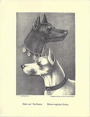1890 Jean Bungartz Dog Art Head Print Reproduction STANDARD MANCHESTER TERRIER