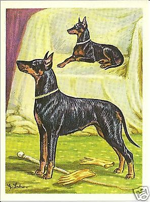 1952 Dog Art Print Austria Tobacco Black & Tan TOY & STANDARD MANCHESTER TERRIER