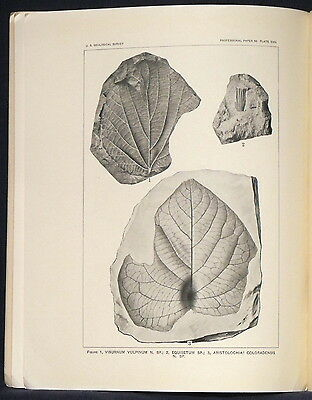 USGS INCREDIBLE FOSSIL LEAVES in the FOX HILLS SANDSTONE, Colorado RARE 1916