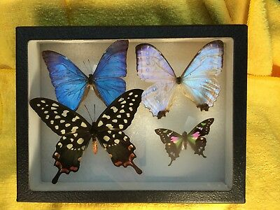Four Butterfly Specimens In Display Case