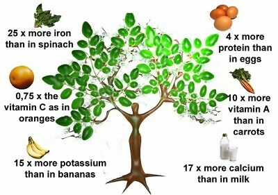 25 + Moringa Oleifera Organic Queensland Fresh Seeds Miracle Tre