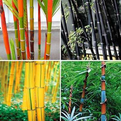 100Pcs Phyllostachys Pubescens Moso-Bamboo Seeds Garden Plants Gold Black Hot